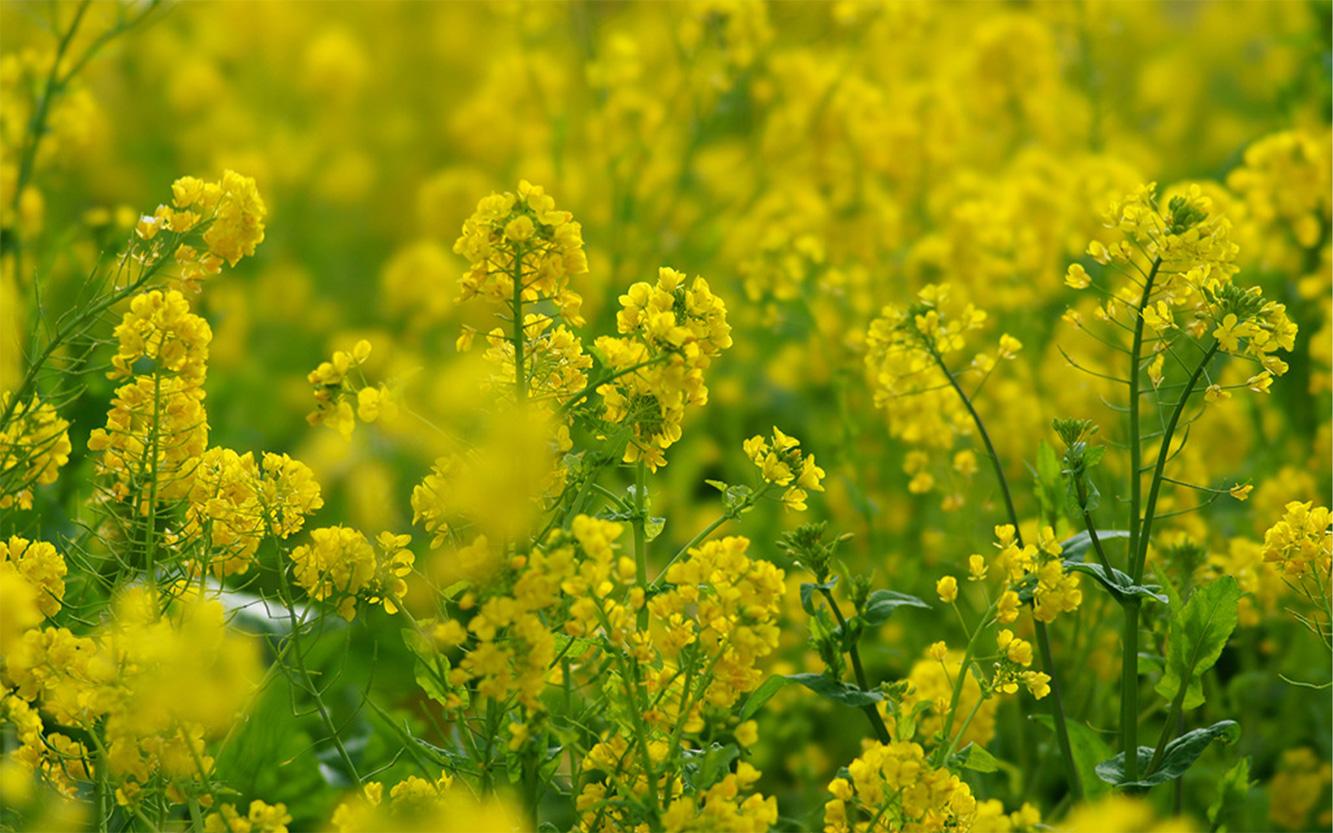 菜種油の原料、菜の花